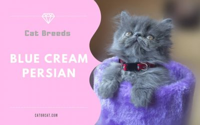 Blue Cream Persian
