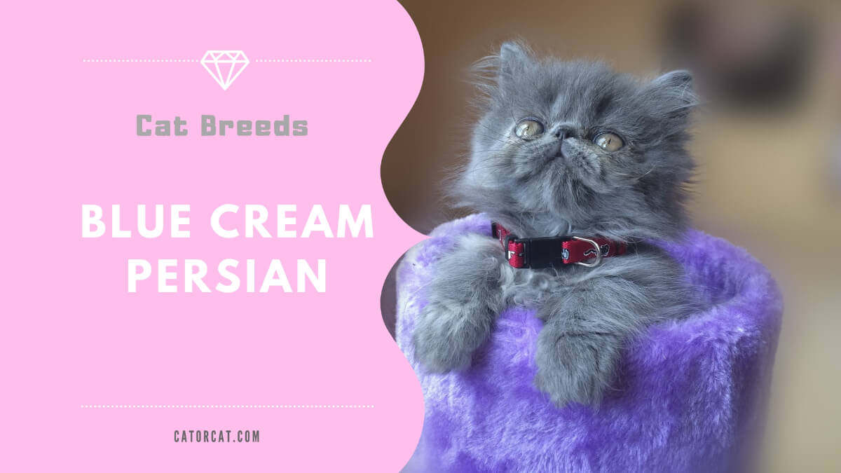 Blue Cream Persian Cat