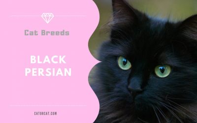 Black Persian Cats