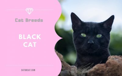 Black Shorthair Cat