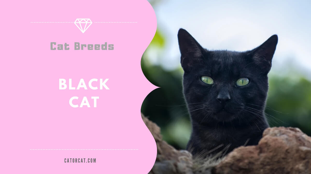 Black Shorthair Cat