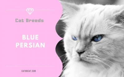 Blue Persian Cat