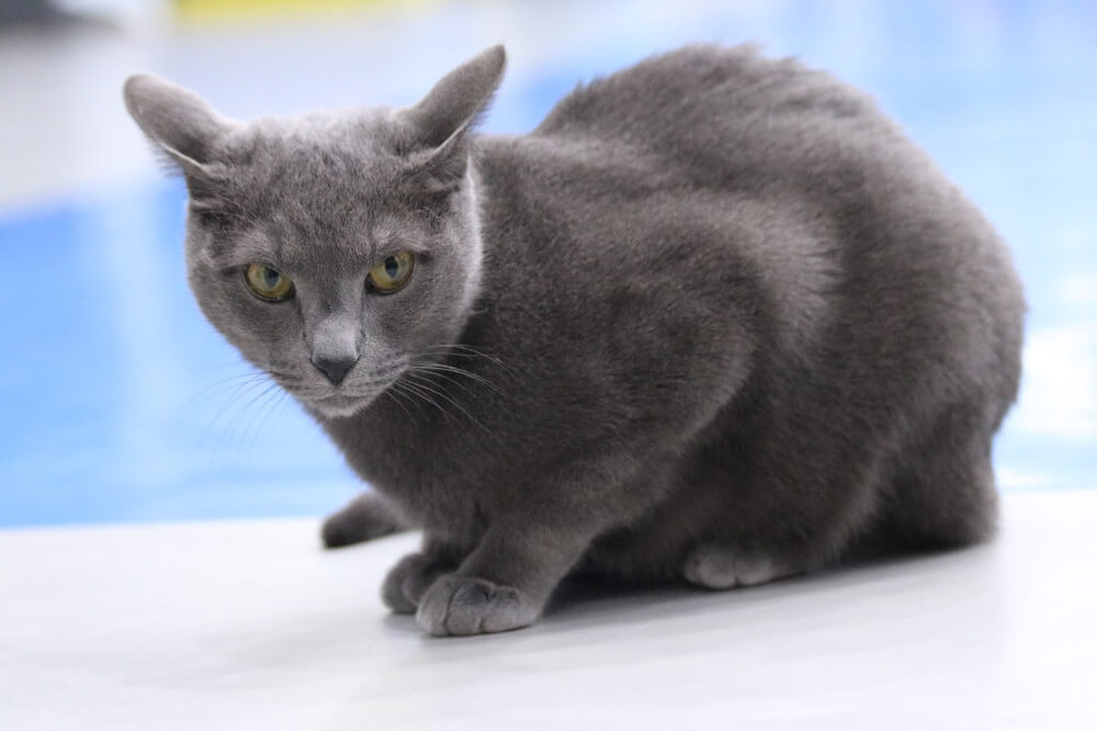 blue russian cat