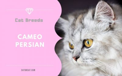 Cameo Persian Cat