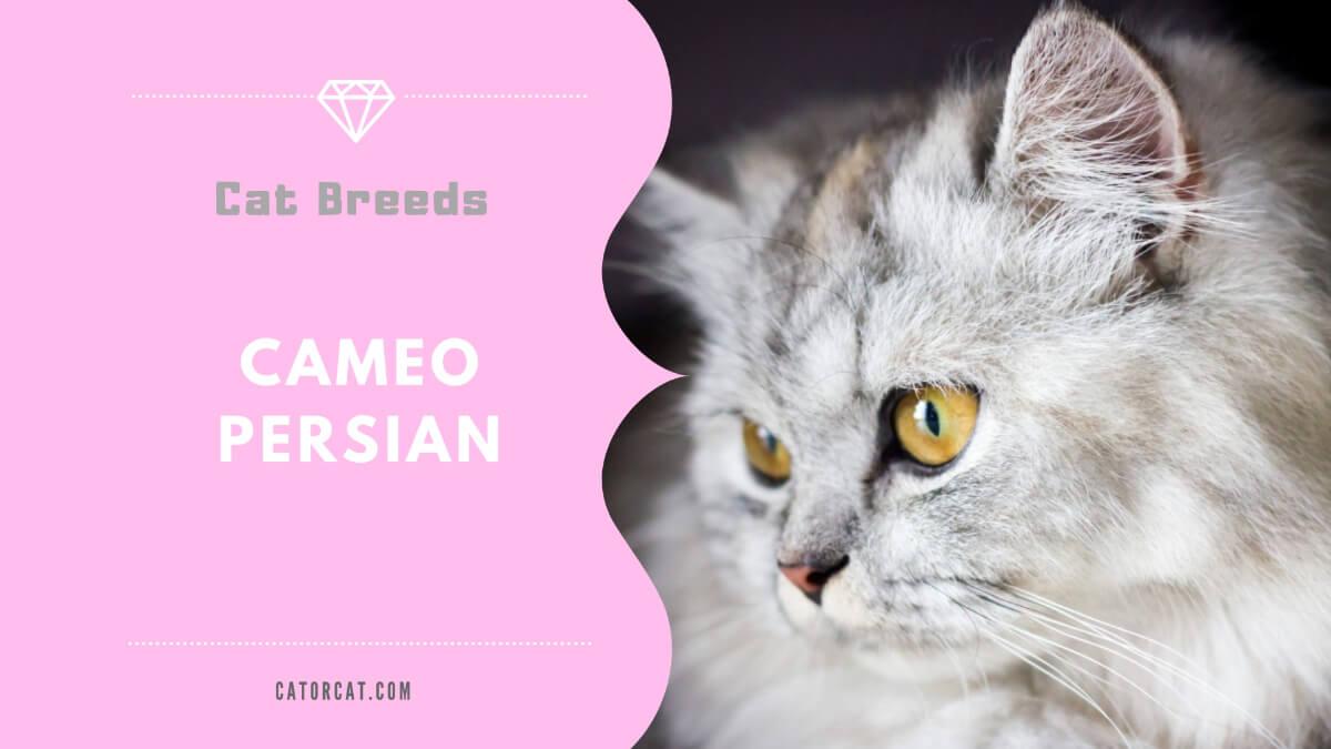 cameo persian cat