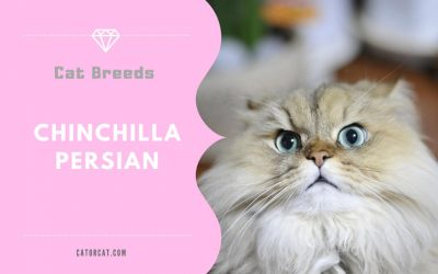 Chinchilla Persian