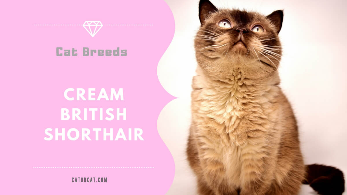 cream british shorthair