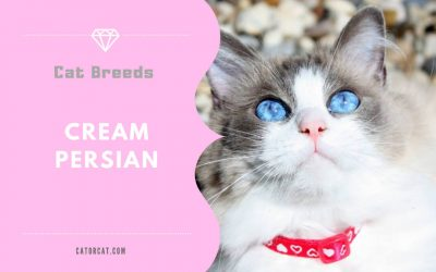 Cream Persian Cat