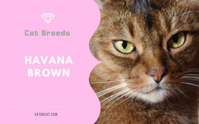 Havana Brown Cat