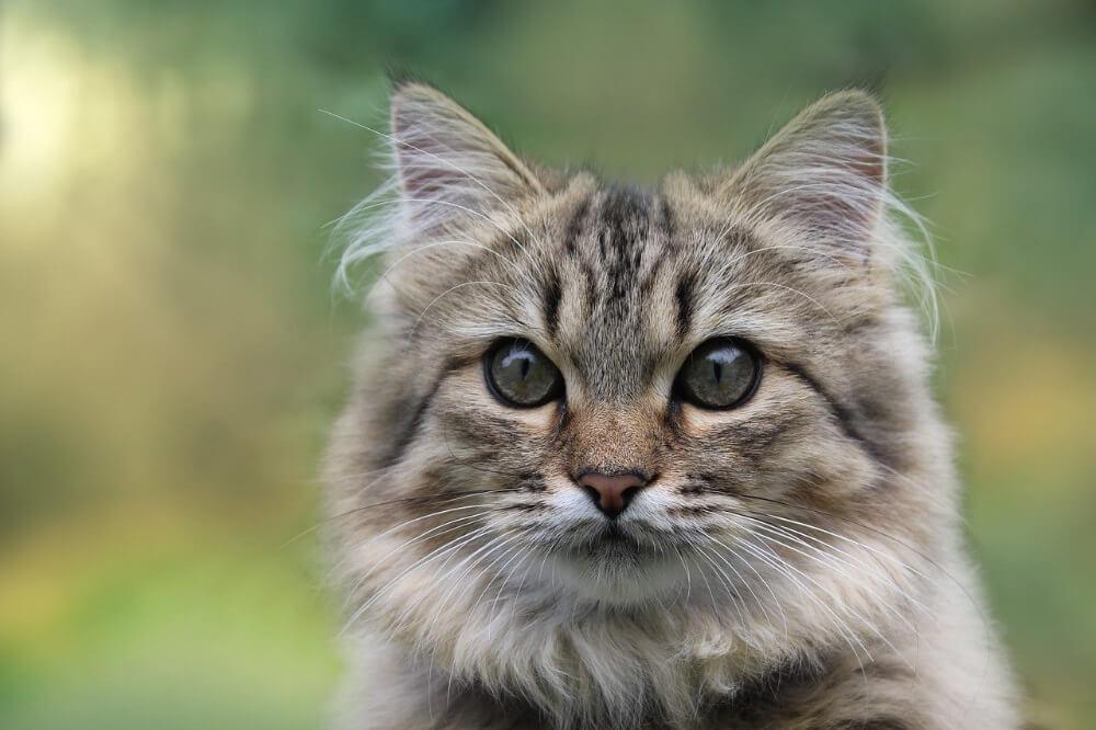 persian cat blue smoke