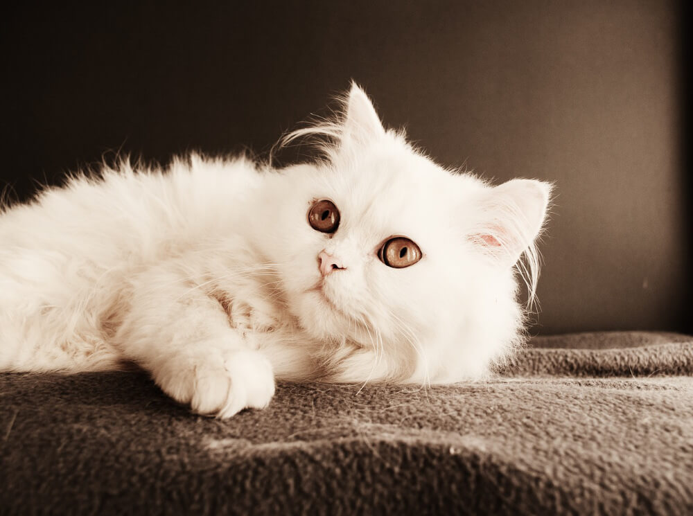 persian cat white