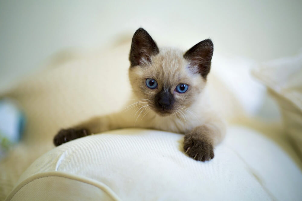 siamese cat personality