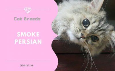 Smoke Persian
