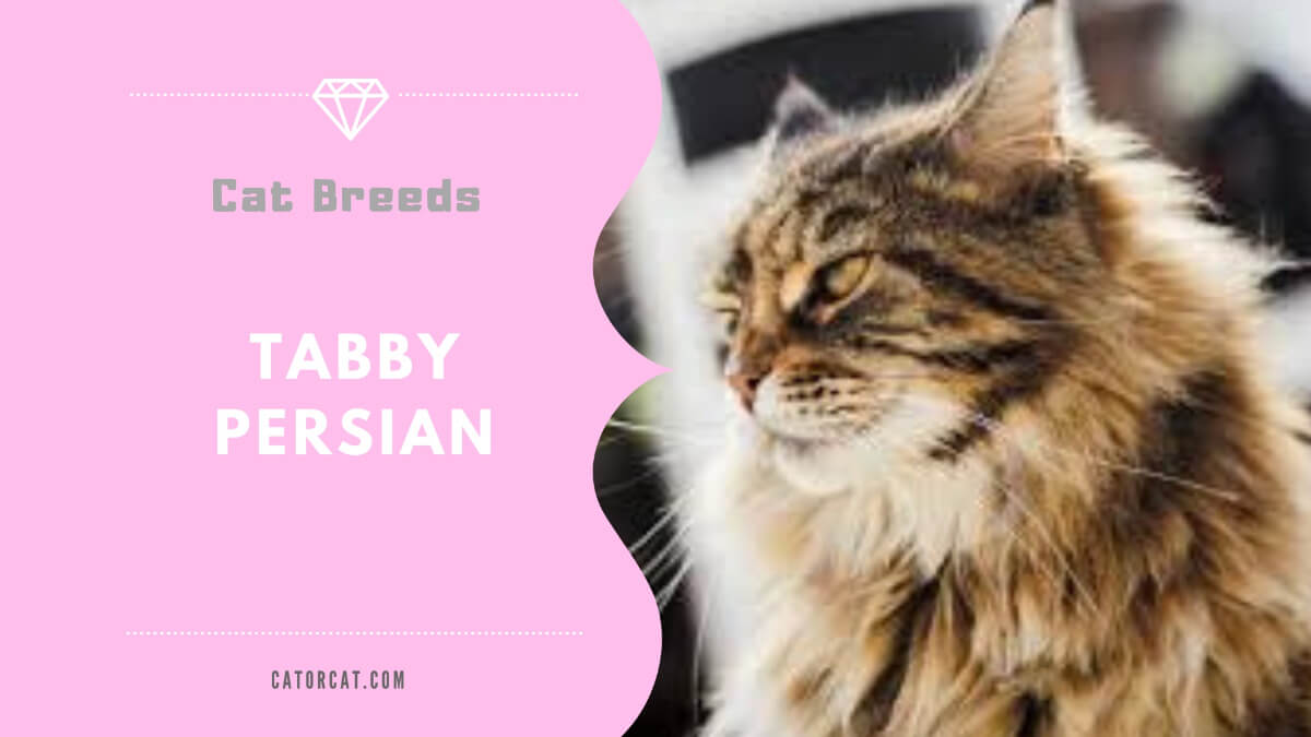tabby persian cat