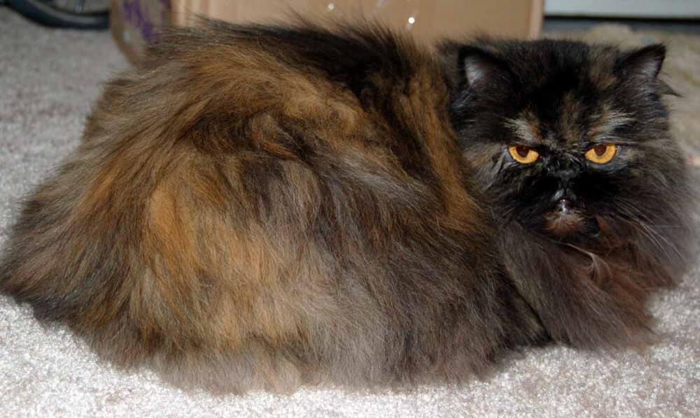 tortishell persian cat