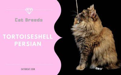 Tortoiseshell Persian