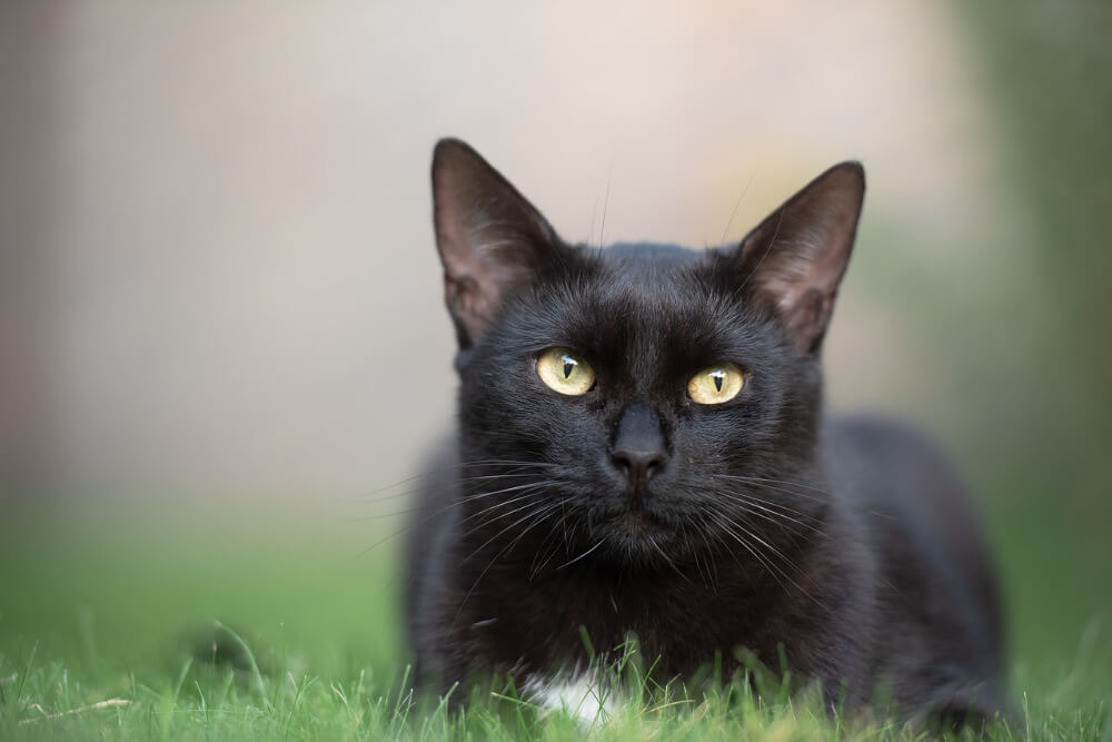 what breed is a black cat