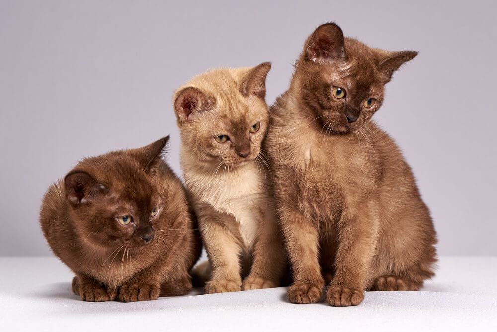 what does a burmese cat look like