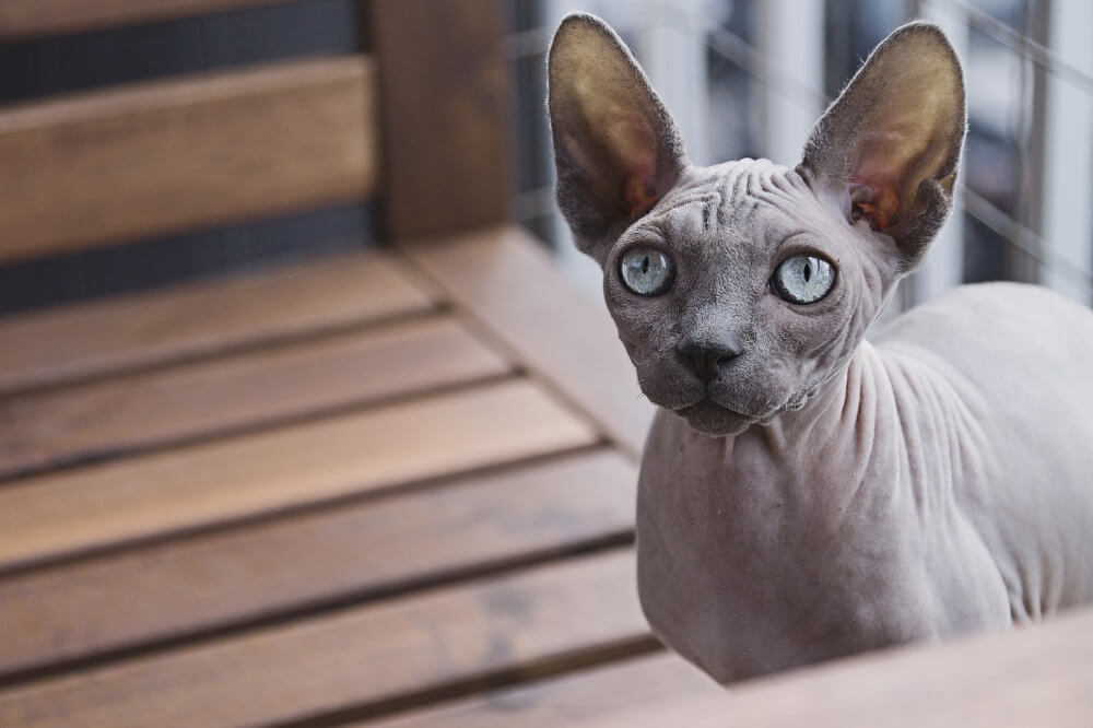 what is a sphynx cat