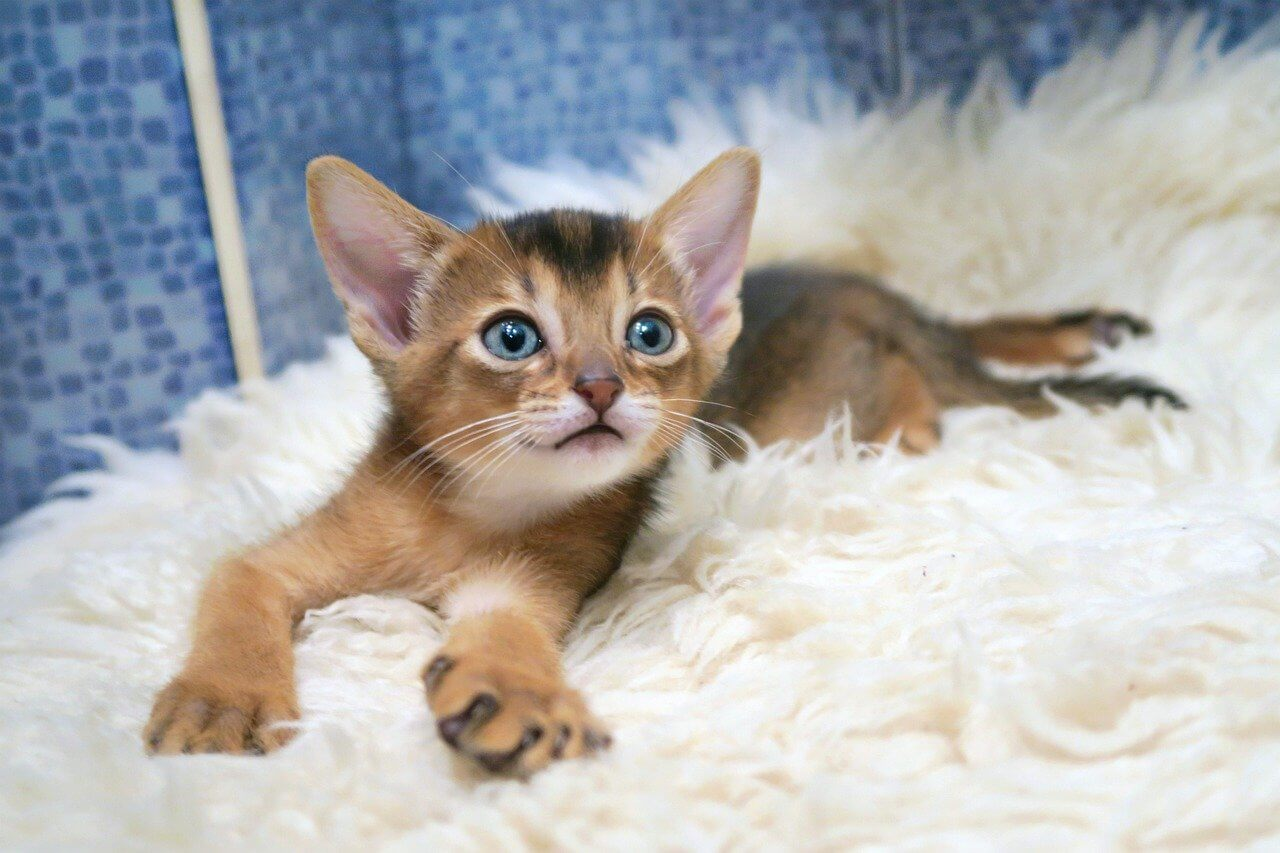 what is an abyssinian cat