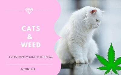 Everything You Need to Know About Cats and Weed