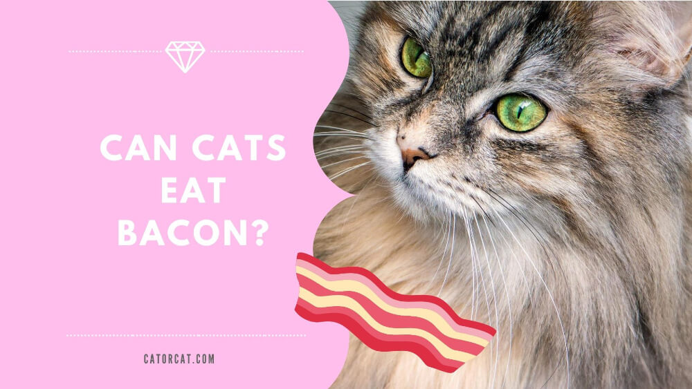 Can Cats Eat Bacon? Facts