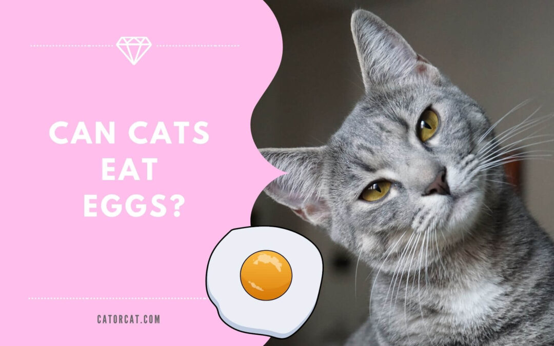 Can Cats Eat Eggs – Good or Bad